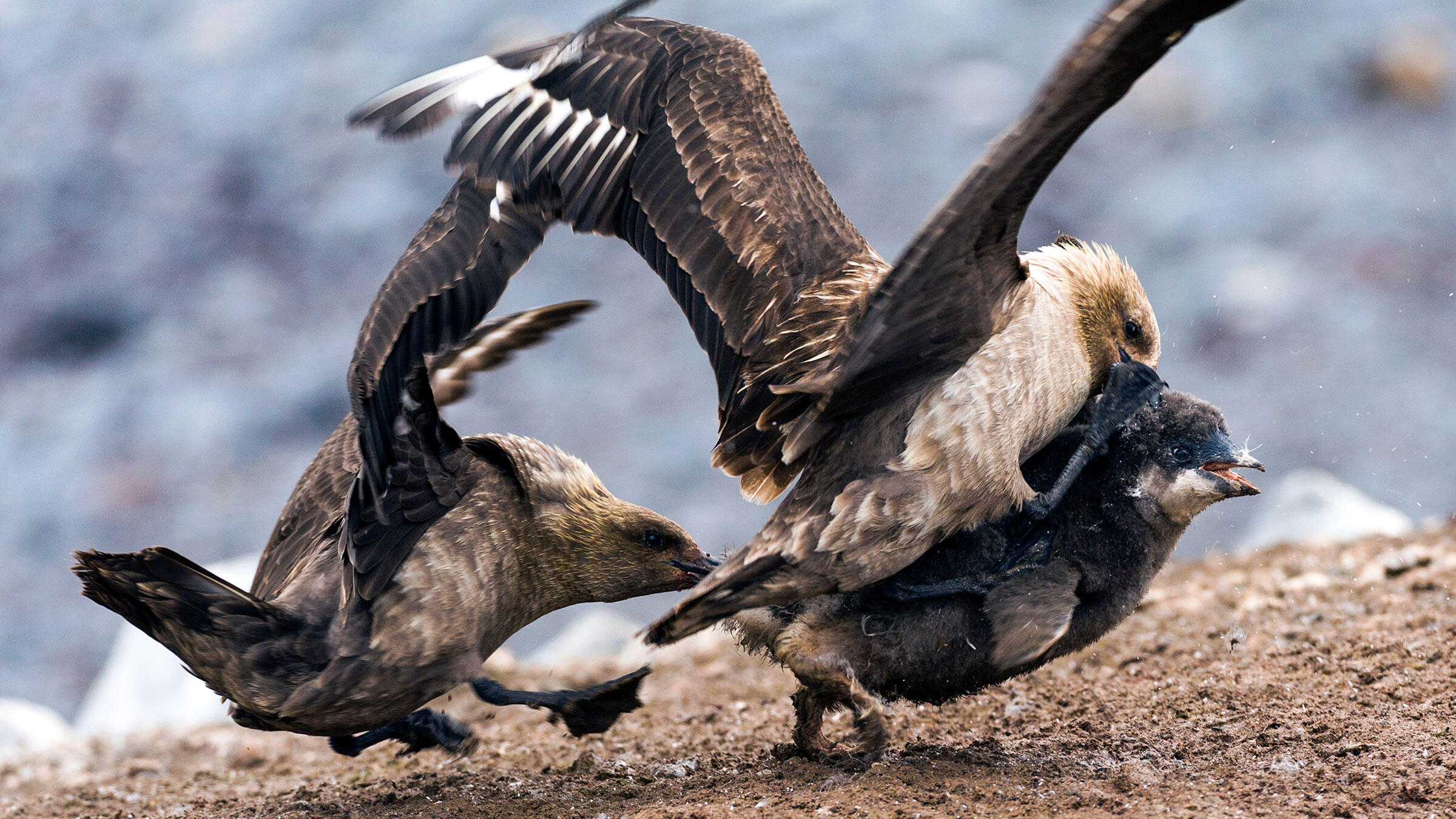 best food gifts to send 2020 South Polar Skuas Are a Bunch of Bird Eating Bullies | Audubon