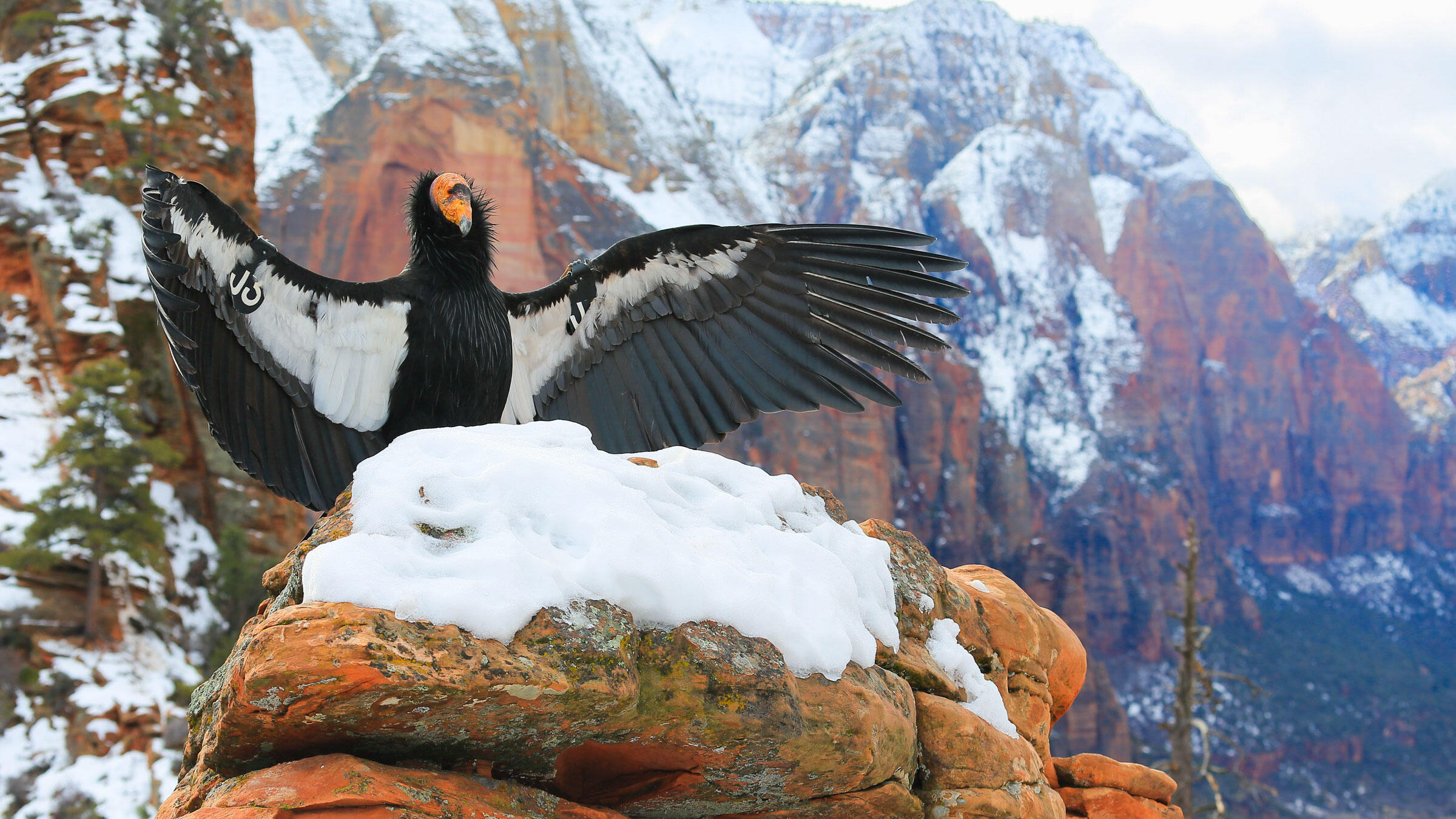 Enjoyable California Condors Could Soon Soar Above The Redwoods Again Download Free Architecture Designs Embacsunscenecom