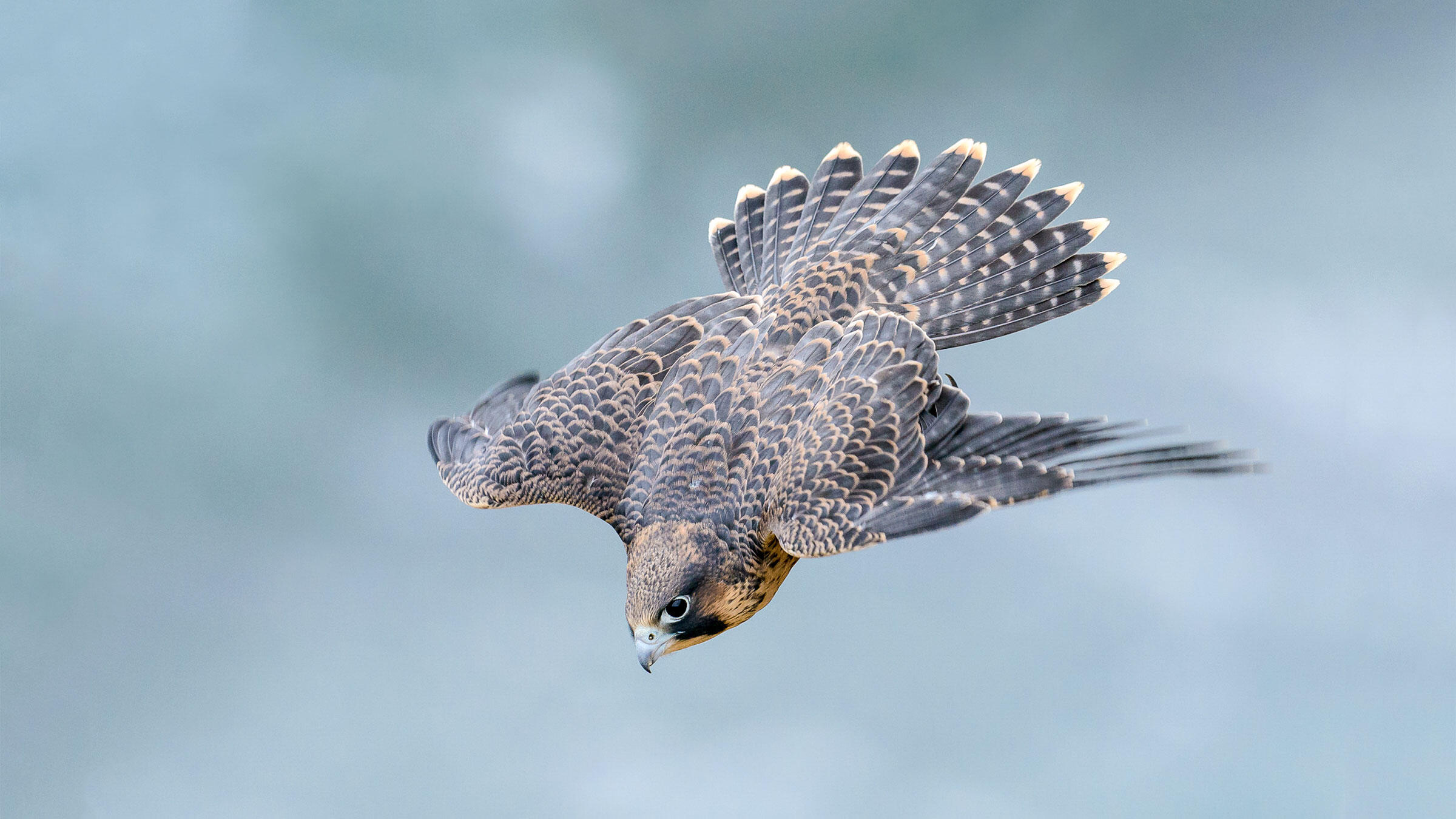 1c783e11 Research Reveals Exactly Why Peregrine Falcons Are so Deadly | Audubon