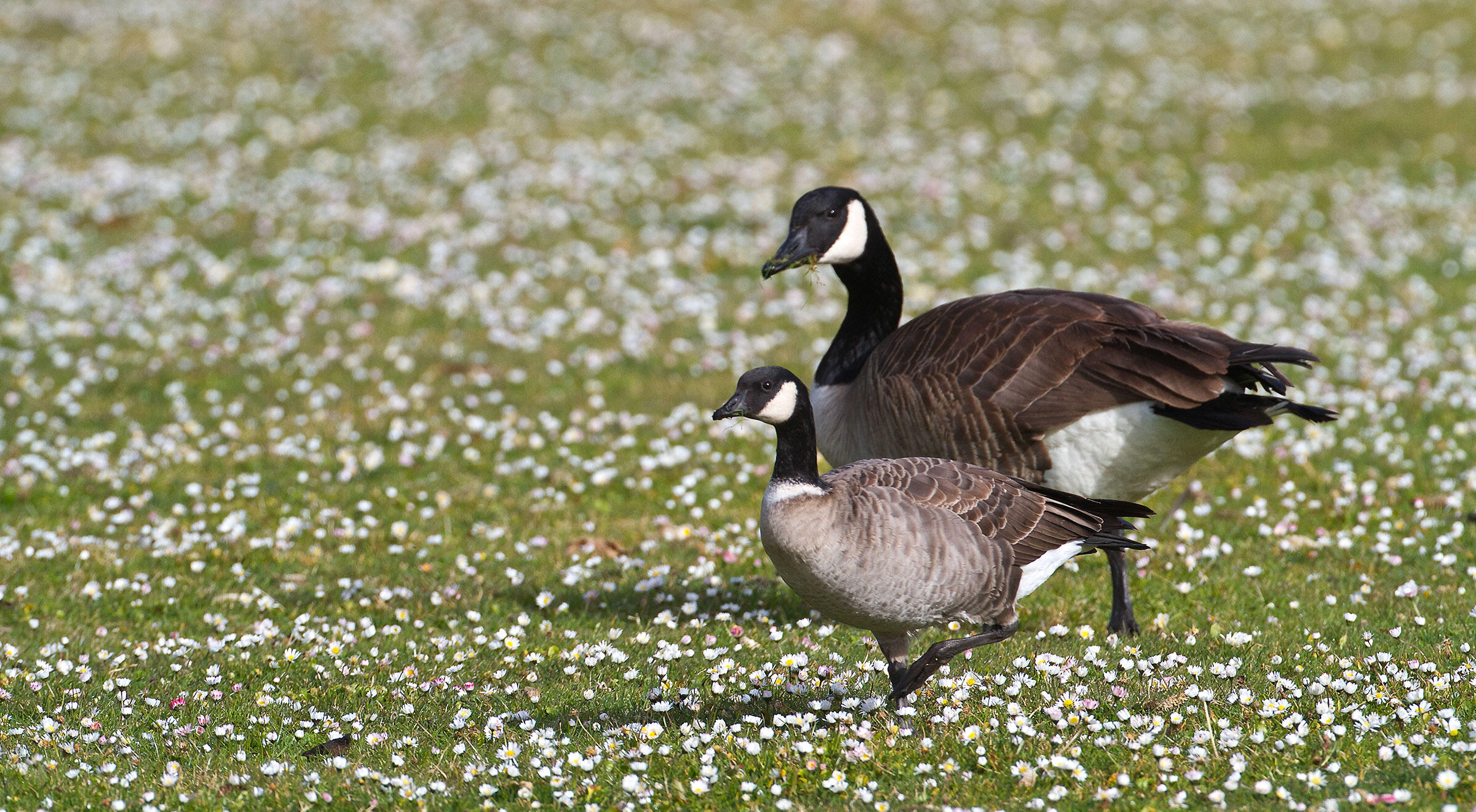54fac699d Differences Between Canada Goose and Cackling Goose | Audubon