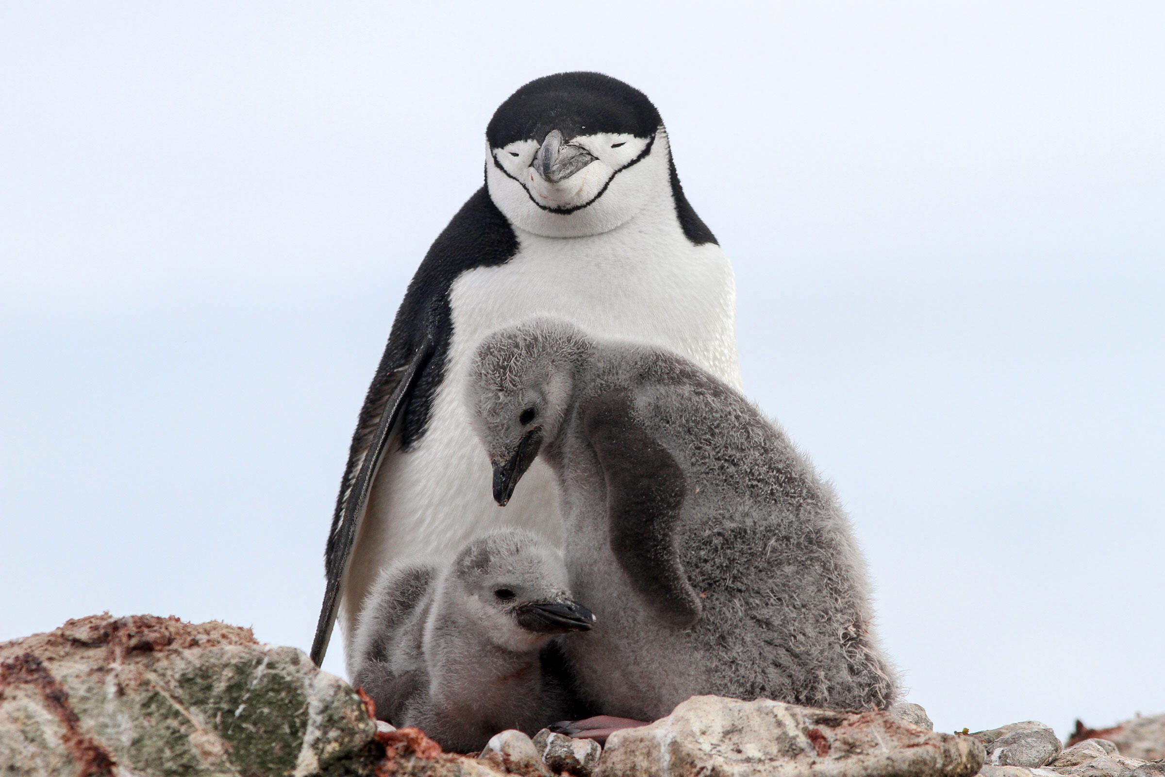 Antarctica's Most Numerous Penguin Has Suffered Huge Declines, Expedition Finds