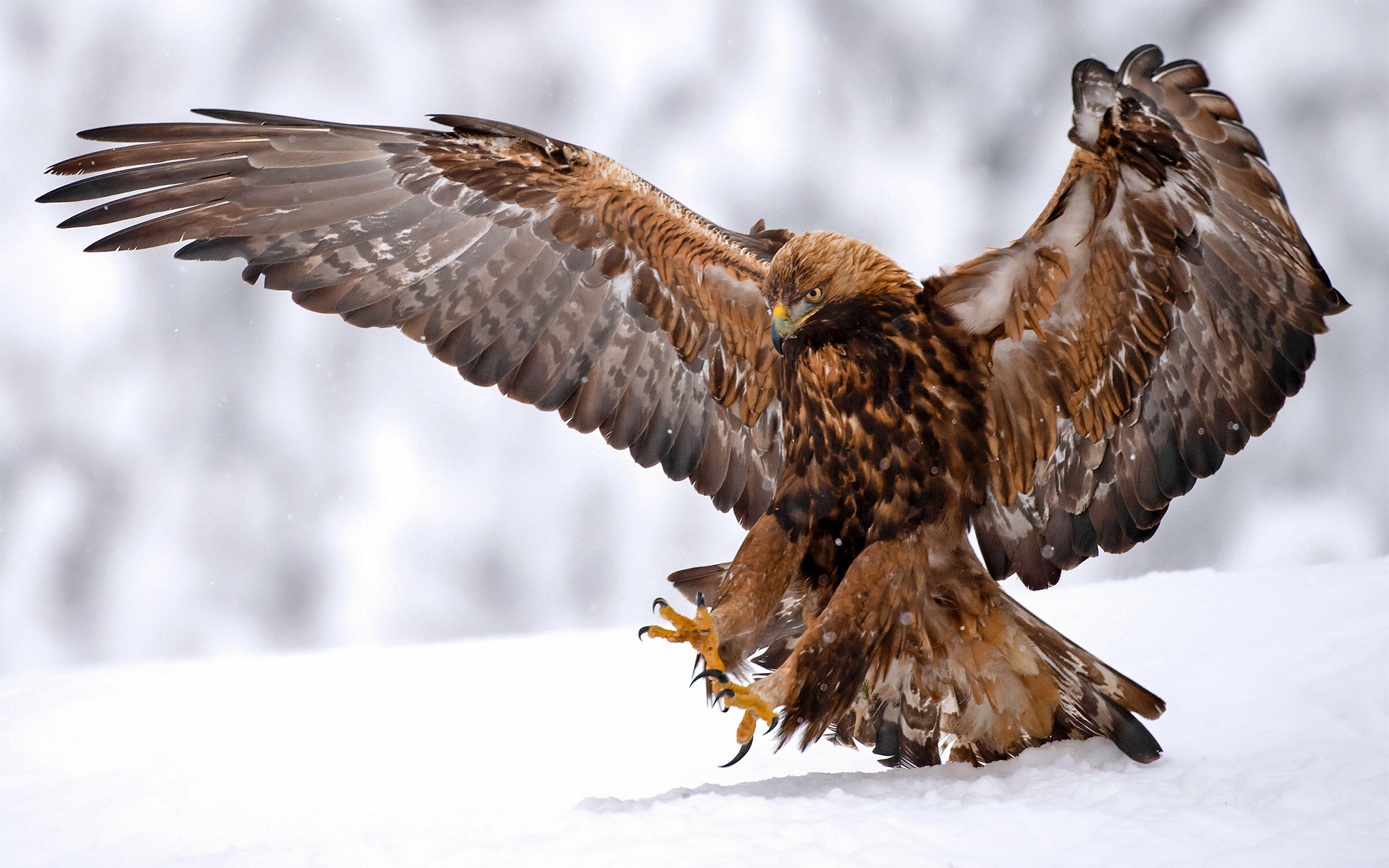 Did Neanderthals Catch and Kill Golden Eagles for Their Feathers ...