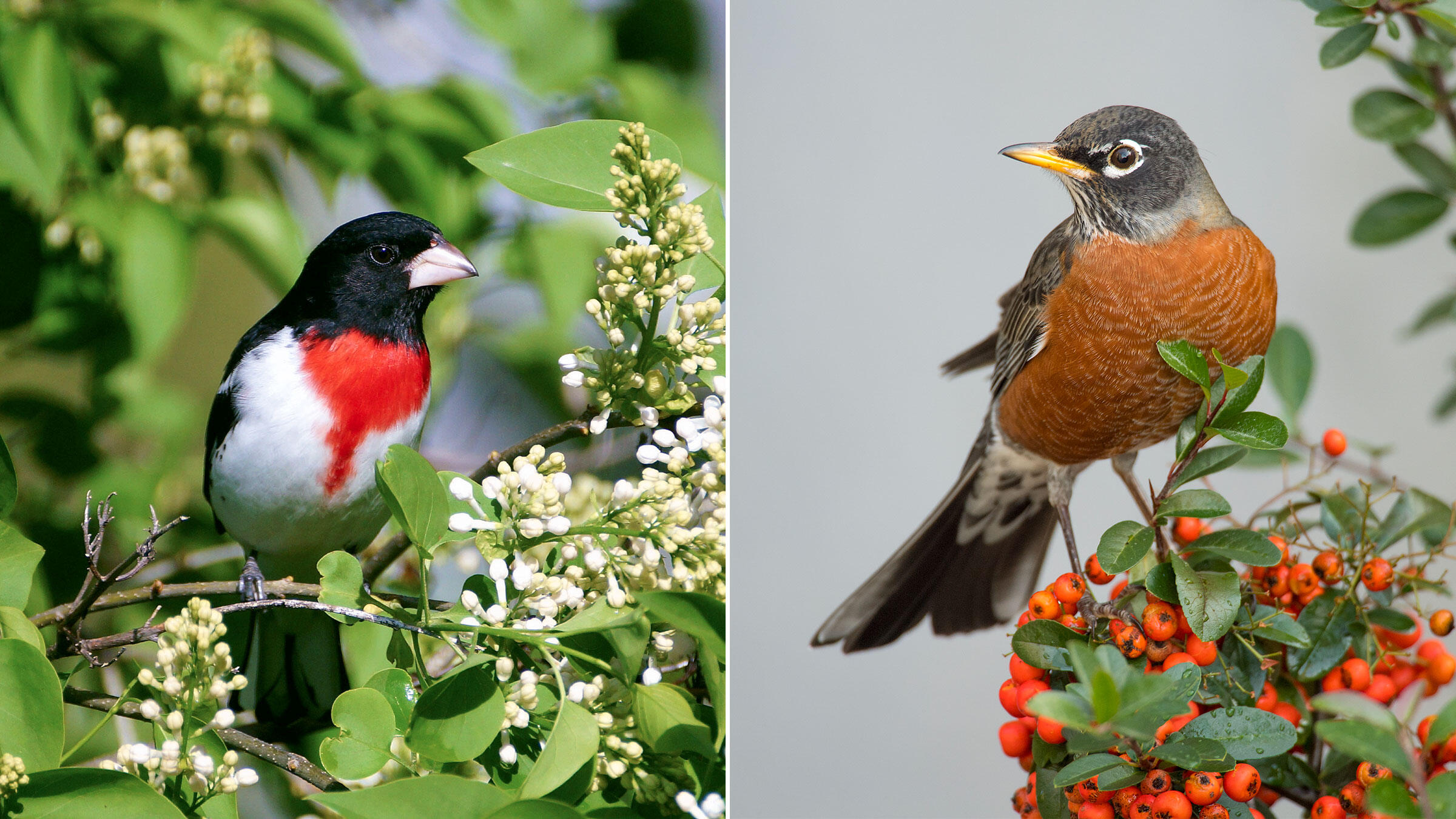 10 Common Bird Songs Made Less Confusing | Audubon