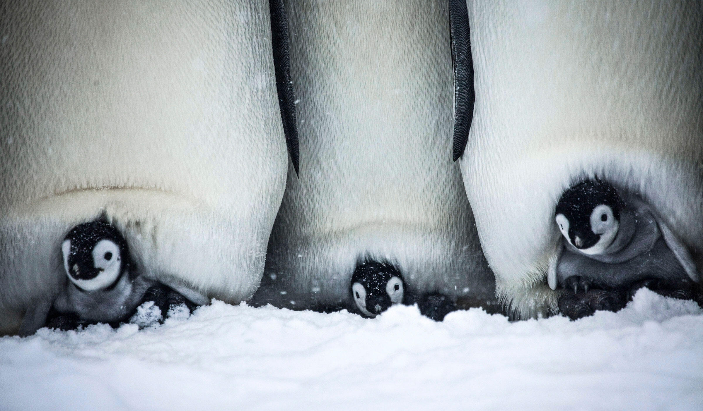 Watch A Cuddly Baby Penguin Struggle To Survive In Its
