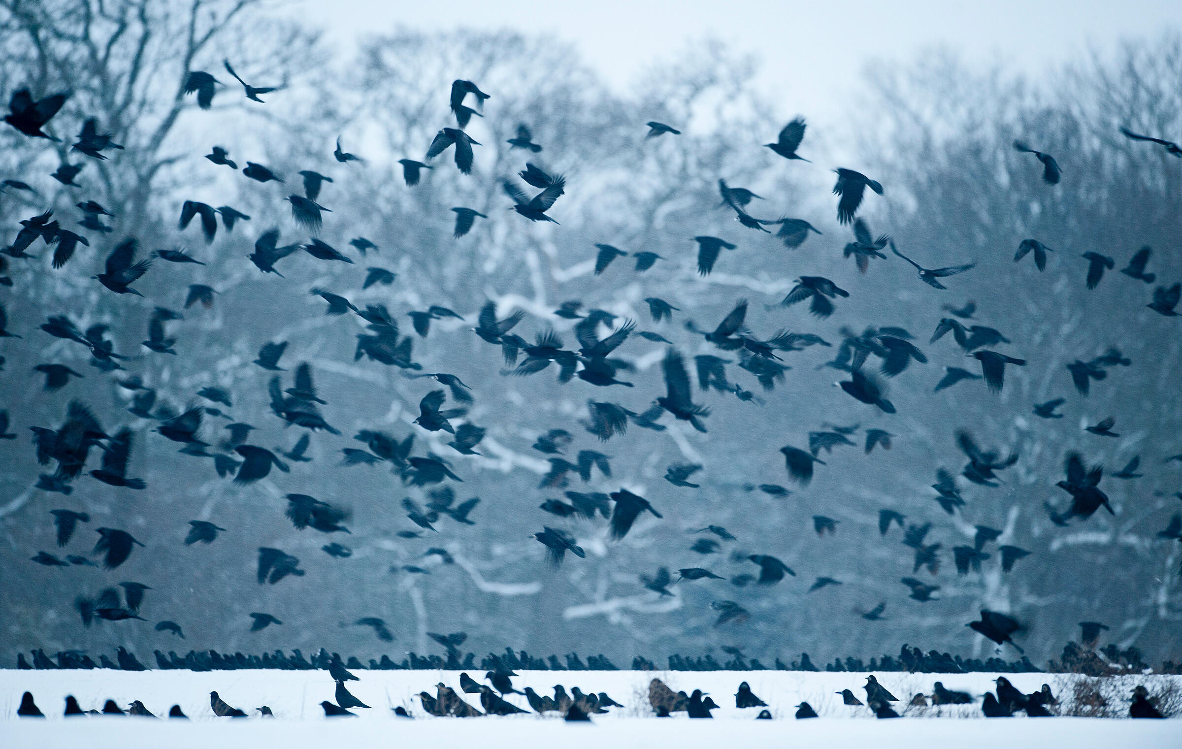 No, It's Not Actually a Murder of Crows | Audubon