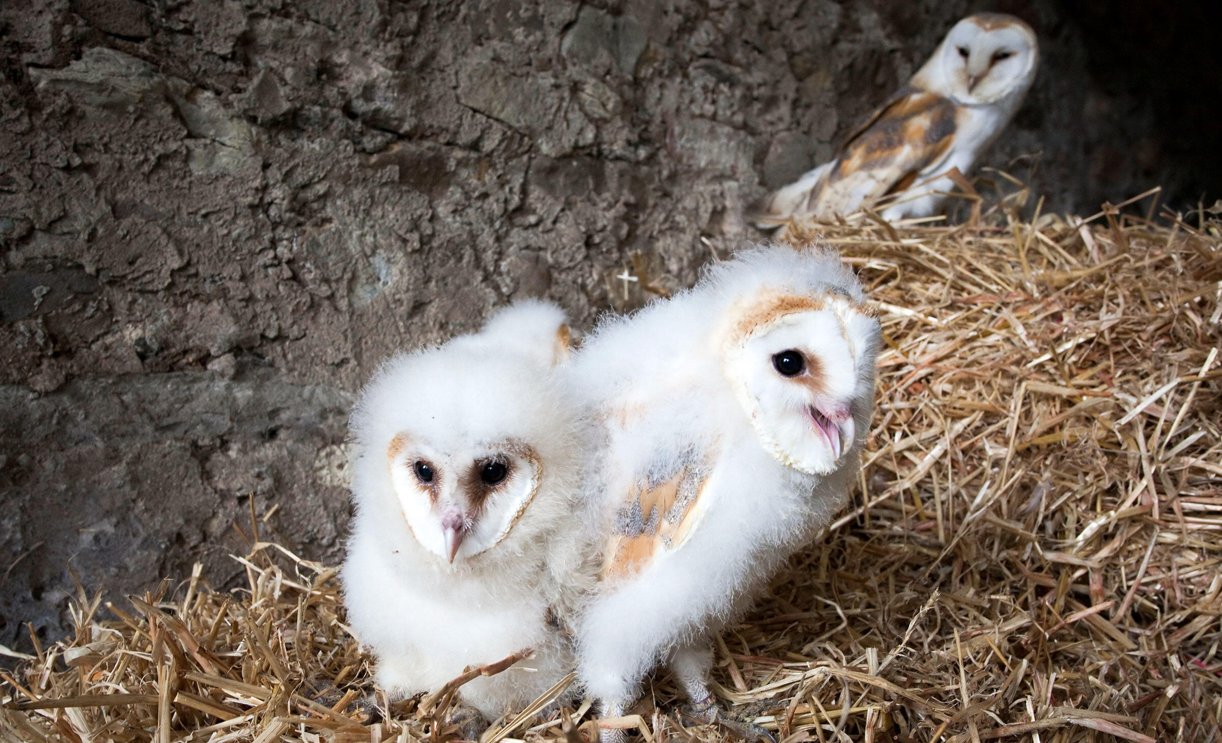 Family Ties Barn Owl Chicks Let Their Hungry Siblings Eat
