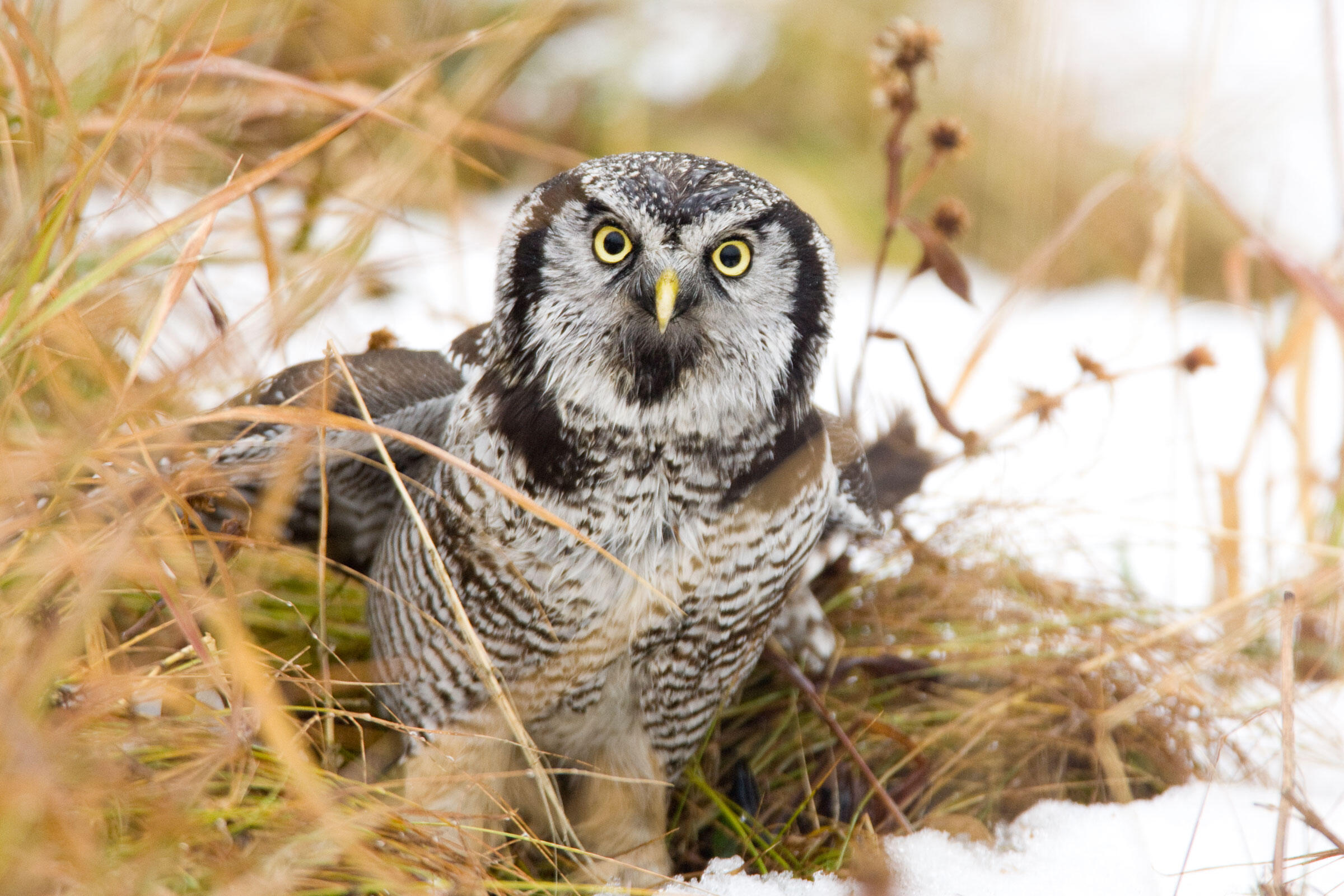 Night Owls May Face Special Challenges >> How To Take Owl Photos Audubon