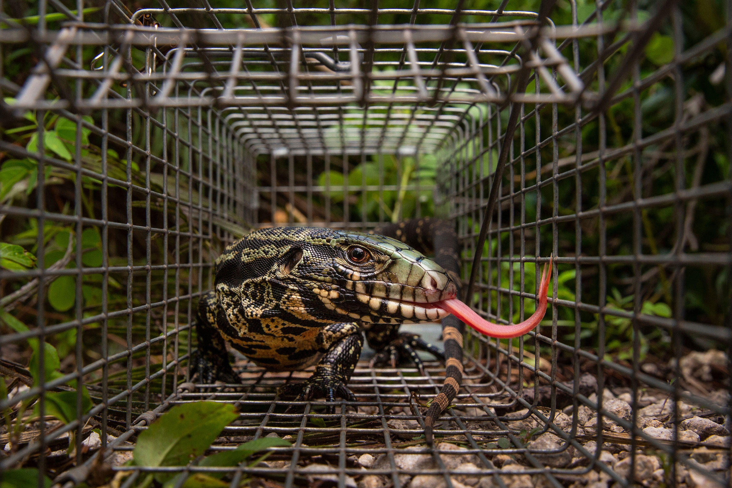 Invasive Reptiles Are Taking Over Florida—and Devouring Its Birds