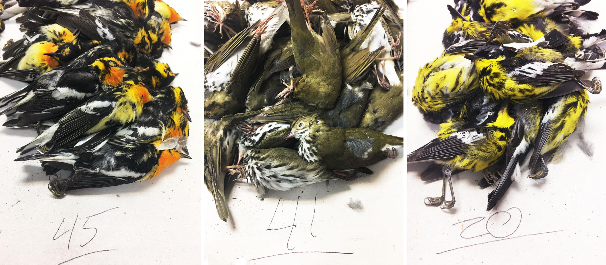 Nearly 400 Migratory Birds Were Killed by One Texas Building