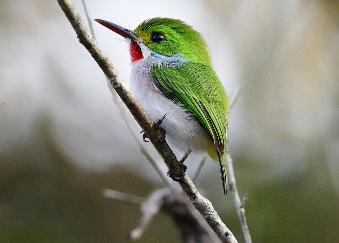 How The CBC Can Help Save Birds In Cuba