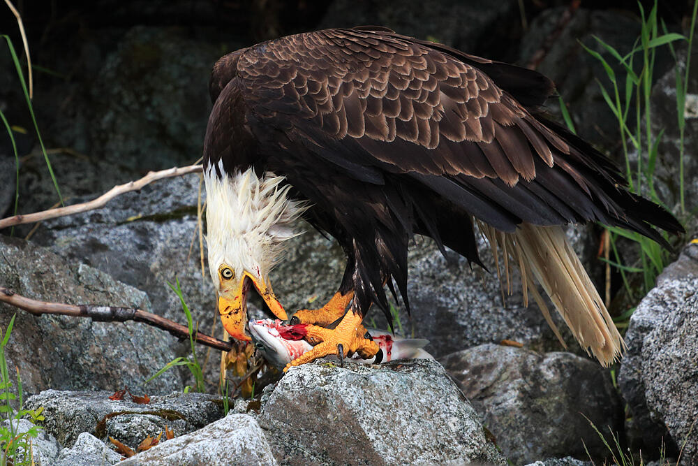 Will a Bald Eagle Eat Your Outdoor Cat? | Audubon