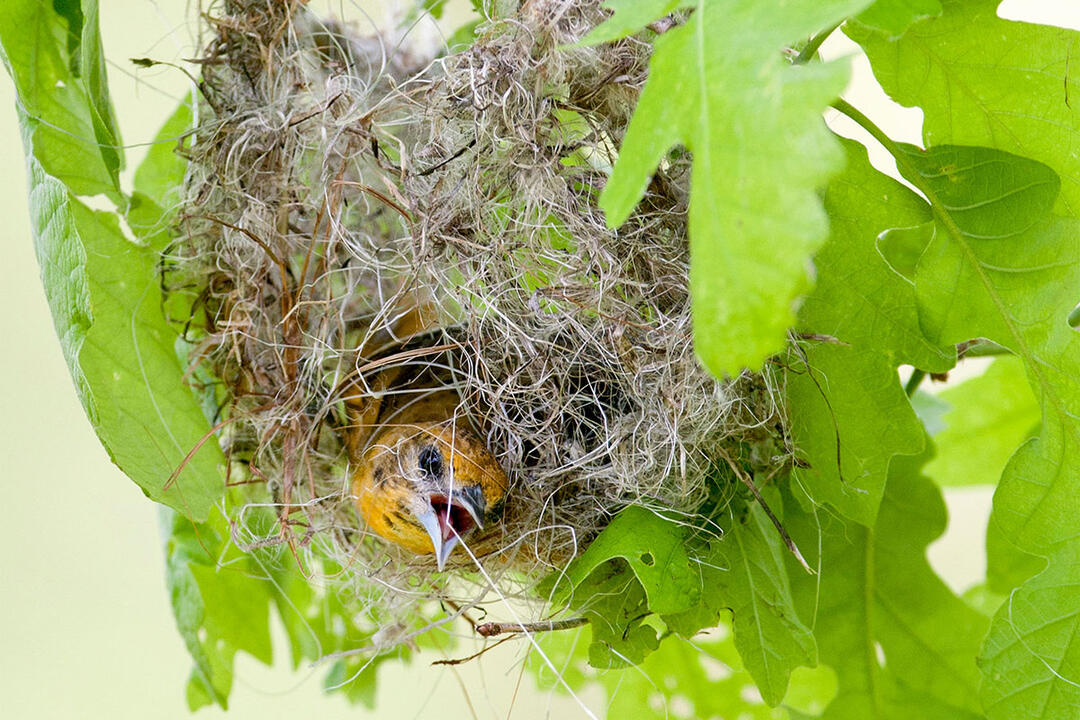 How Orioles Build Those Incredible Hanging Nests Audubon
