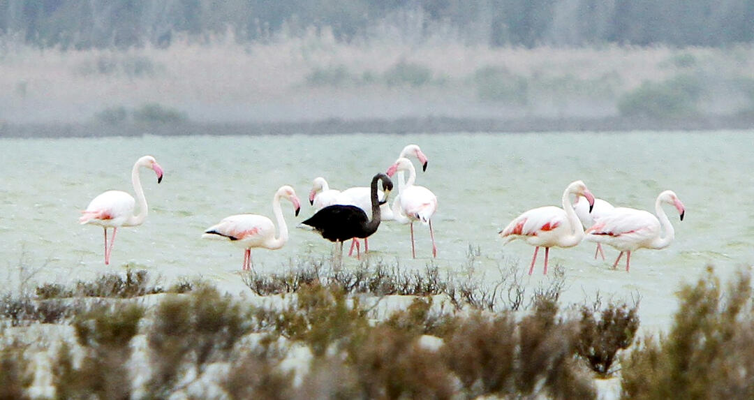 A Black Flamingo Stands in Cyprus