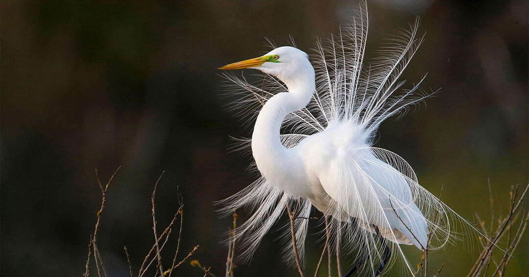 Congress Takes First Step Toward Restoring Bird Protections Eliminated by Trump