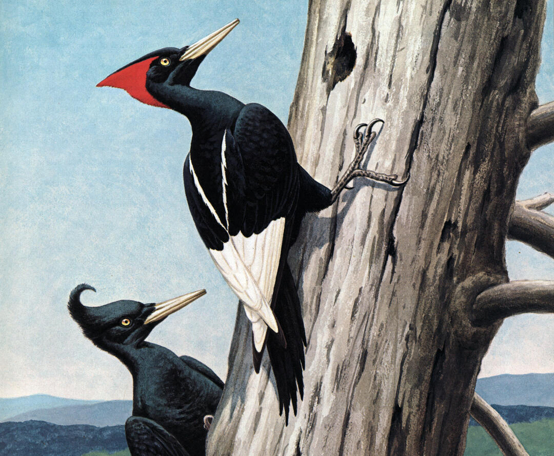 In Search of the Imperial Woodpecker | Audubon