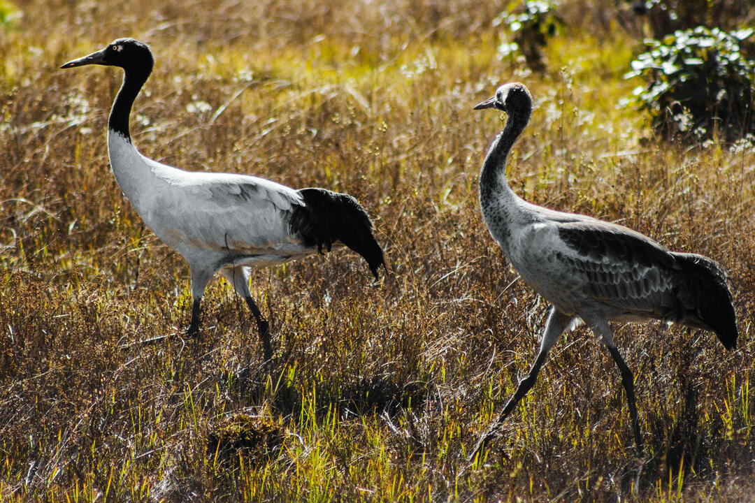 A Festival Of Cranes Bay Nature >> Saving The Sacred Black Necked Cranes Of Bhutan Audubon