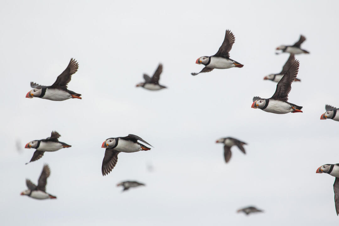 Five Hotspots for Photographing Puffins, Murres, Auklets