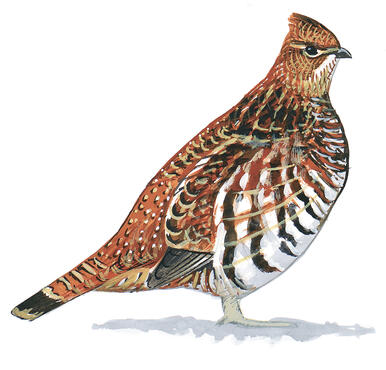 pennsylvania state bird the ruffed grouse