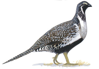 Wyoming Takes the Lead in Sage-Grouse Conservation