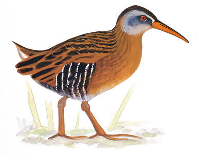Virginia Rail, Identification, All About Birds - Cornell Lab of ...