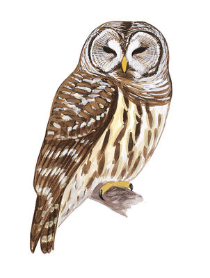 No Barred Owls Are Not Trying To Kill You Audubon