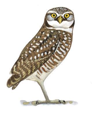 Burrowing Owl | Audubon California