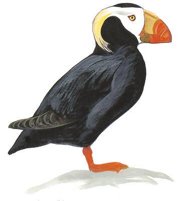 Atlantic Puffin | Audubon Field Guide