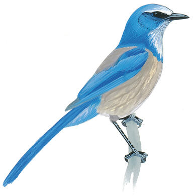 Why the Scrub-Jay Should Be Florida's State Bird — with Eva