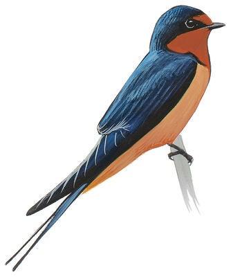 Tree Swallow Audubon Field Guide