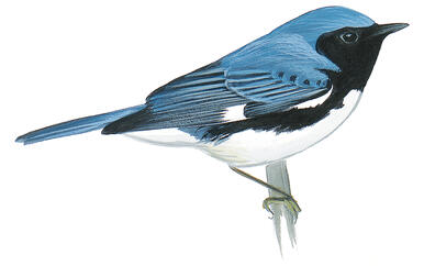 Black-throated Blue Warbler by minusbaby