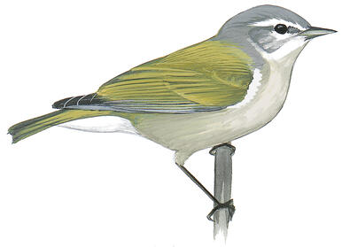 North American Birds Are Shrinking, Likely a Result of the Warming Climate