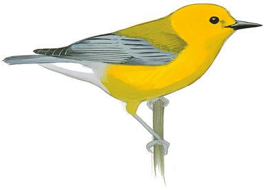 Saving Colombia's Forests Is Crucial to Protect Prothonotary Warblers