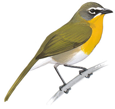 Yellow-breasted Chat 4147a75c4