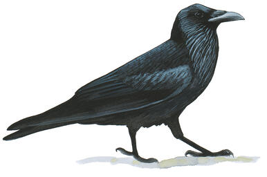 Like Humans and Apes, Ravens Have the Foresight to Save Up for the Future