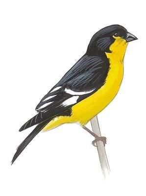 American Goldfinch | Audubon Field Guide