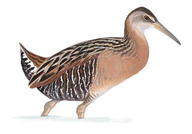 5295_Sibl_9780307957900_art_r1?itok=DbO RFoH&site=pineisland&nid=4536 birds at the sanctuary audubon pine island sanctuary & center