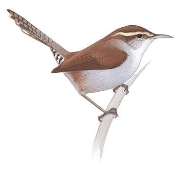 Winter Wren | Audubon Field Guide