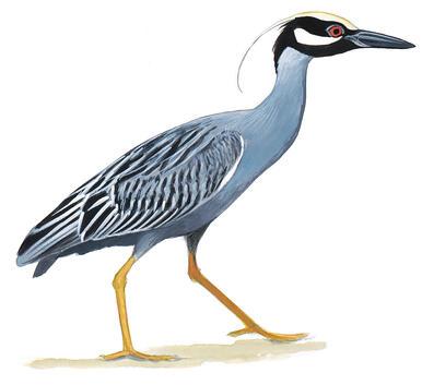 Herons Egrets Bitterns Audubon