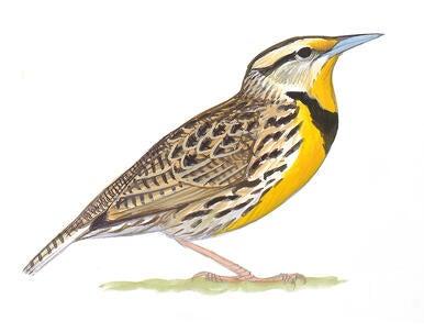 Western Meadowlark Audubon Field Guide
