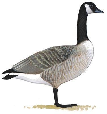 Canada Goose montebello parka outlet fake - Bald Eagle and Canada Goose Throw Down in Epic Battle | Audubon