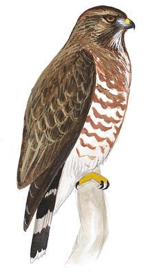 Identify Raptors in Flight   Audubon