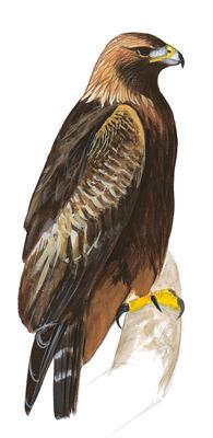 Harriss Hawks Hunt Like Wolves To Bring Down Dangerous Prey Audubon