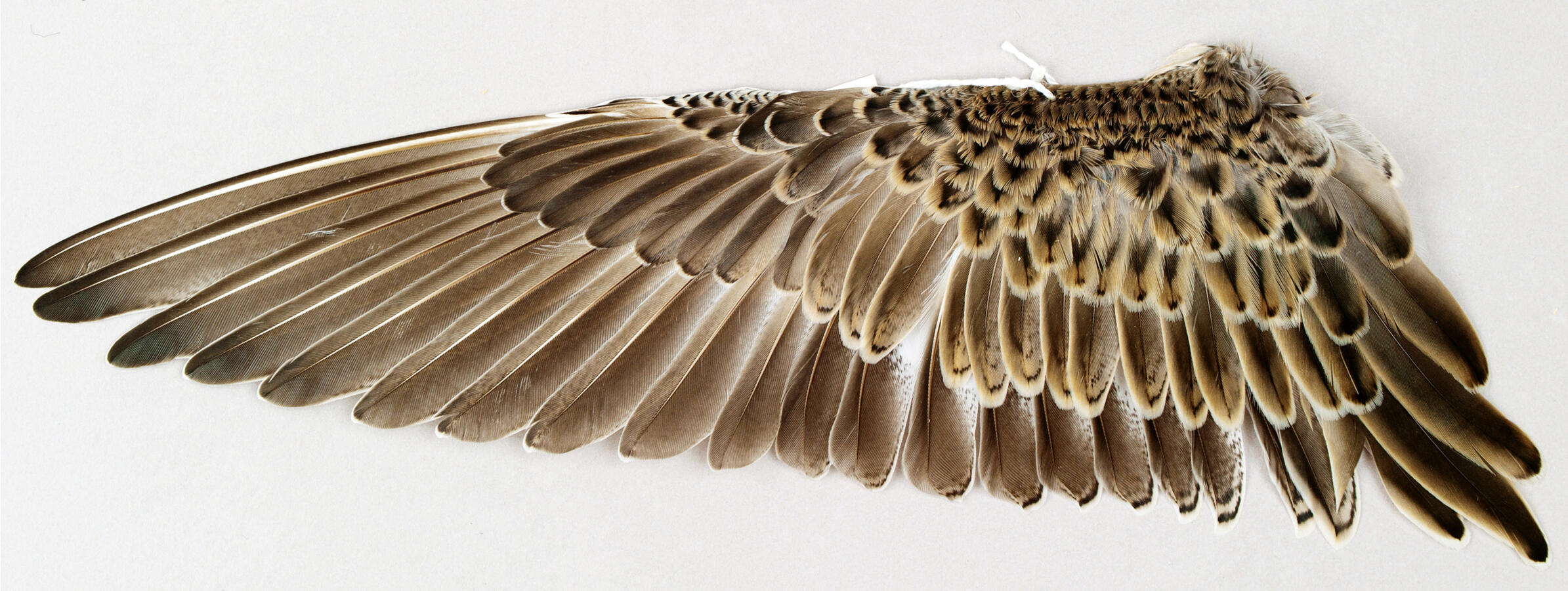 Behind the Scenes of the World's Largest Bird Wing ...