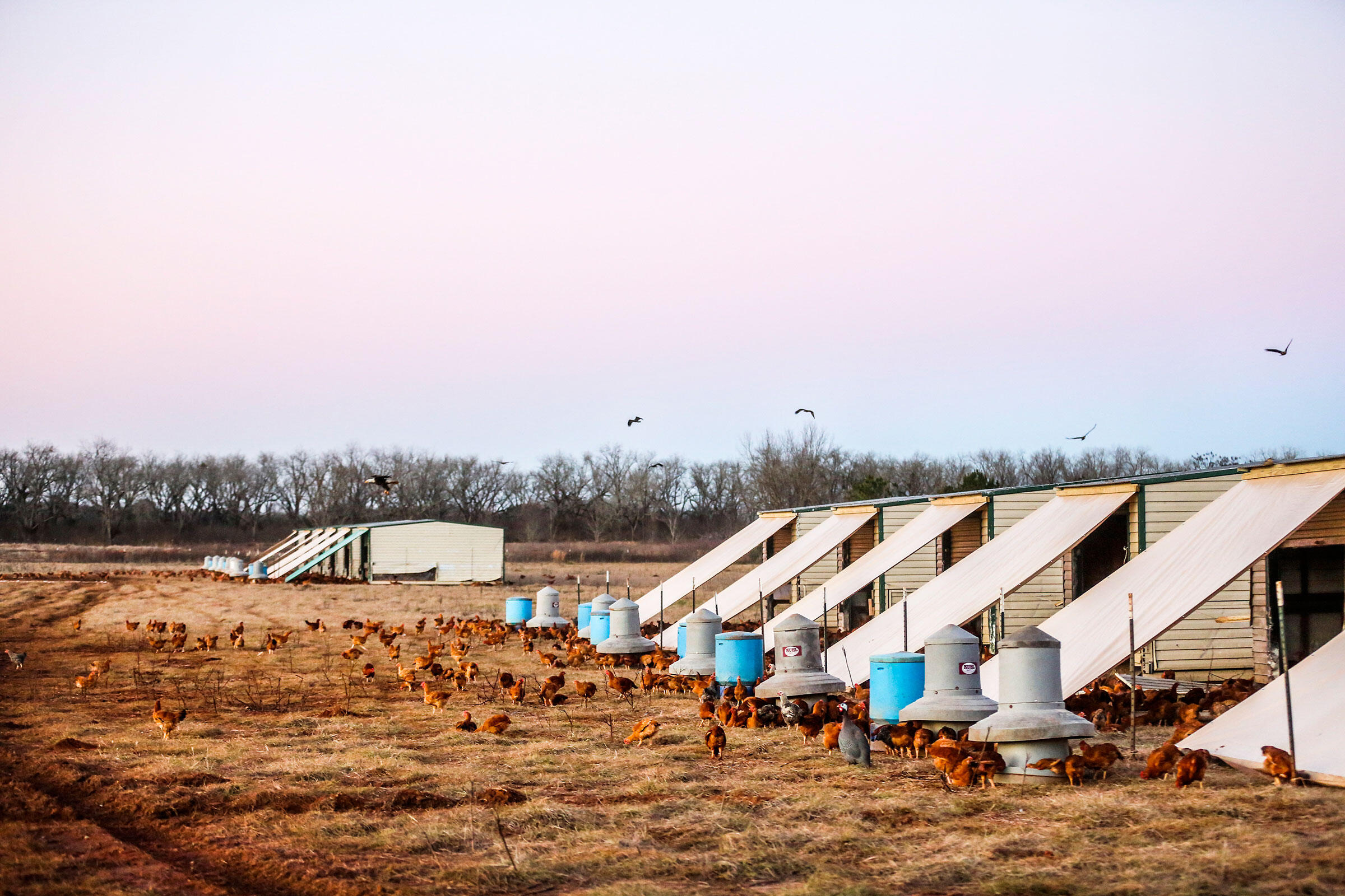 Bald Eagles Eating Chickens at White Oak Farms — Raptor