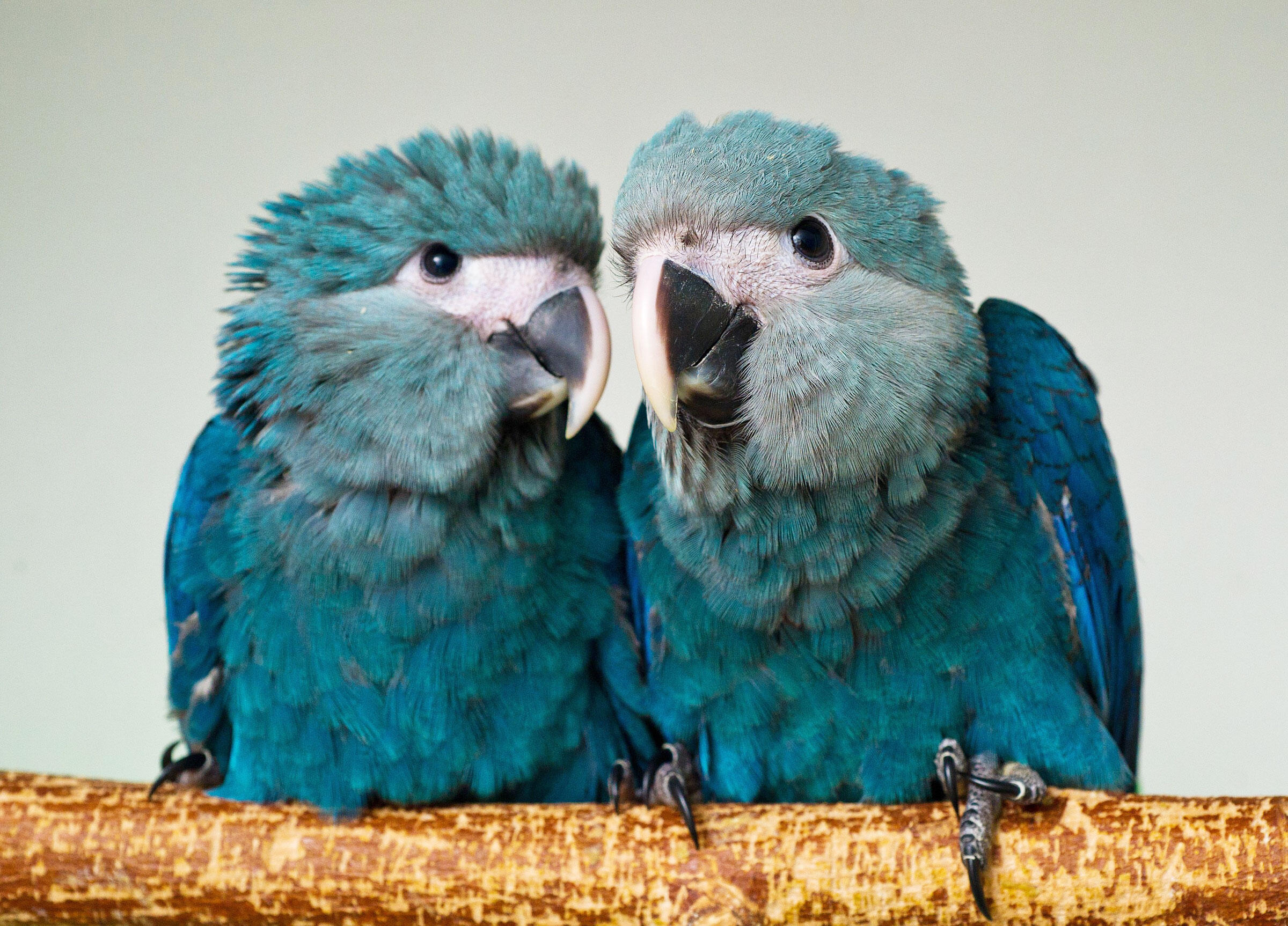 Can Two Frozen Testicles Bring Back the Spix's Macaw?   Audubon
